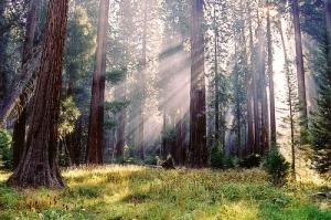 sequoia-trees-national-park