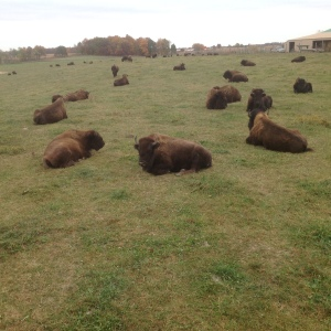 Bison outside of Fort Wayne Indiana