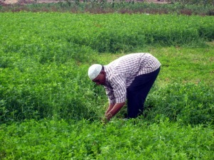 Field Egypt Farmer People