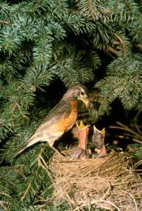 robin-bird-with-chicks-on-nest-367x544