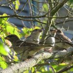 Juvenile House Sparrows