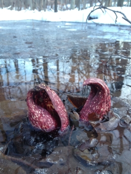 skunk_cabbage.jpg