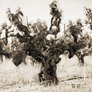 13-grist-vine