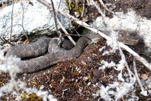 rattle snake - Ont August, 2012.jpg